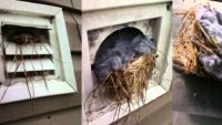 Bird Nest Removal and Dryer Vent Cleaning from Ductwise.ca.jpg